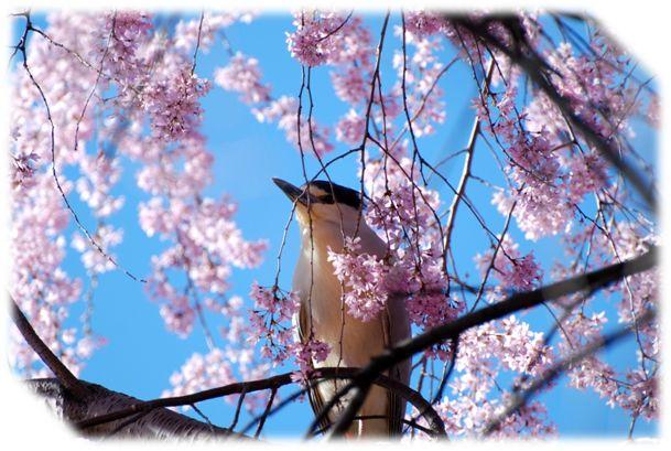 oiseau-arbre-cerise