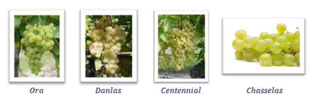 Variétés de raisins blancs